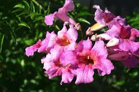 Water Challenge Vine Pink Trumpet Vine Or Podranea Flower Plant Of The Month