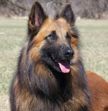 belgian shepherd exercise requirements belgian shepherd tervuren dogs breeds pets