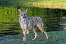 Coyote In My Backyard It U0027s Coyote Season Watch For The Wiley Western Predators In City