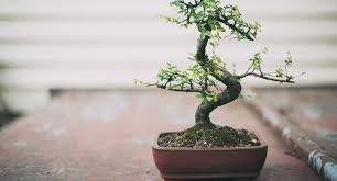 bonsai australian native plants the beauty of bonsai better homes and gardens