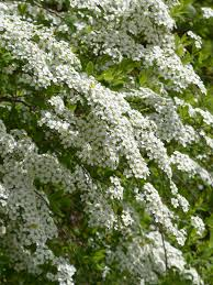 free images branch blossom white flower bush food herb