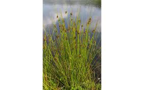native plant journal native rushes get out north coast journal