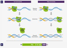 bureau de la pcr dna polymerase four key characteristics for pcr thermo fisher