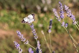 of flowers and bees butterflies and dreams il lavandeto di