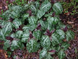 plants native to tennessee march toadshade trillium