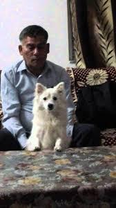 american eskimo dog tricks american eskimo dog in india funny video youtube