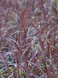 decorative grass calgary ornamental grasses for sale alberta