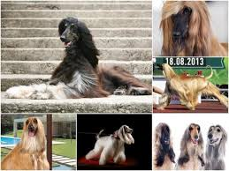 afghan hound speed the 4 fastest dog breeds in the world animalwised