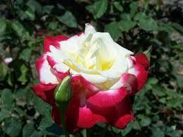 rose guide evergreen nursery