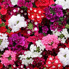 verbena flower verbena seeds quartz mix view all flower seeds flower seeds