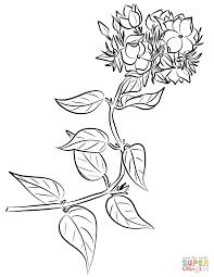 winter jasmine jasminum multiflorum coloring free