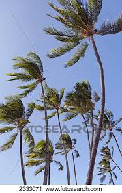 stock photography of a of palm trees blowing in the wind