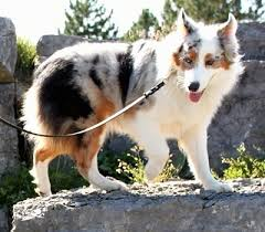 pictures of australian shepherd dogs australian shepherd dog breed information and pictures