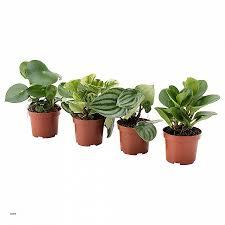plantes pour bureau bureau plante de bureau inspirational peperomia plante en