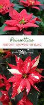 get to know your poinsettias history growing and styling
