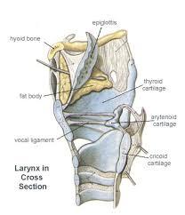 Neck Cross Sectional Anatomy 97 Best Speech Pathology Tons Of Info Images On Pinterest Speech