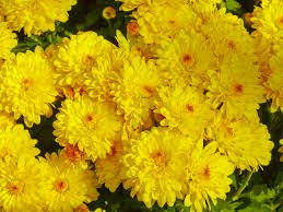 yellow flowers file yellow flowers jpg wikimedia commons
