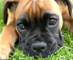 adopt a boxer rescue not for profit 501c 3 charitable
