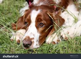 white dog breed springer spaniel brown stock photo 259079699