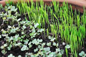 get to know microgreens u2013 easy to grow u0026 better than sprouts