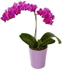 orchid plants orchid phalaenopsis plant in bethesda md ariel bethesda florist
