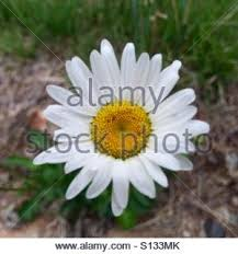 Daisy The Flower - a wildflower graces the forest floor the flower is a new england