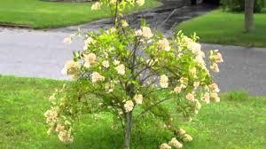 Pom Pom Trees Pom Pom Tree Youtube