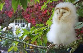 Perry Stone Prayer Barn Baby Barn Owl At Somerset Wildlife Centre Has Been Born Out Of