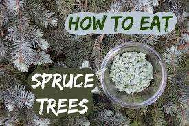 how to eat a spruce tree picking and using spruce tips