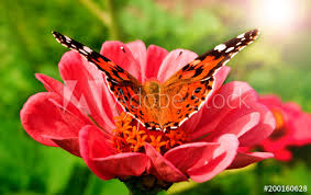 beautiful butterfly on a pink gerbera in nature buy this stock