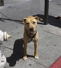 american pitbull terrier info grey american pitbull terrier dog and cat