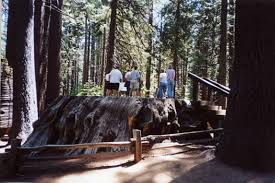 photo of calaveras big trees state park california stump