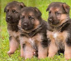 australian shepherd names male german australian shepherd info temperament care puppies pictures