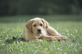 how to stop a lab puppy from digging dog care the daily puppy
