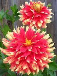 370 best dahlias images on pinterest dahlia flowers pretty