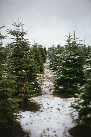 christmas season christmas tree farms long island season