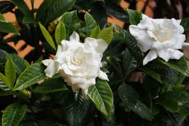 Best Fragrant Indoor Plants - 8 best fragrant houseplants for your office or home garden analyst