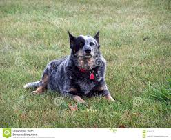 3 4 australian shepherd 1 4 blue heeler aussie blue heeler royalty free stock photography image 3715577
