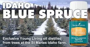 living idaho blue spruce essential buy here