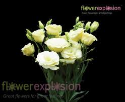 Lisianthus Lisianthus Eustoma Double Cream Yellow Flower For All Arrangements