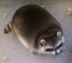 Raccoon Meme - fat raccoon meme generator