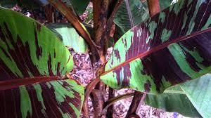 blood banana musa zebrina banana tree banana tree hd