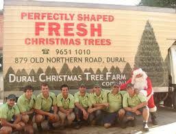 perfectly shaped real christmas trees grown in sydney fresh cut