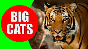 big cats for children tiger lion jaguar leopard cheetah