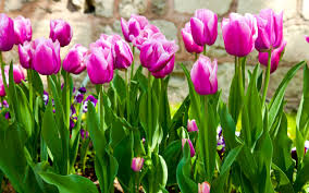 spring blooming tulip u2013 diy growing your own garden ideas holicoffee