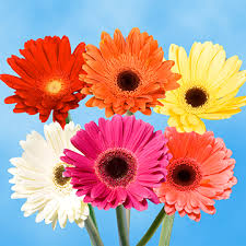 gerbera daisies gerbera flowers global