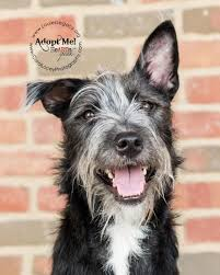 bearded collie x terrier standard schnauzer border collie mix border collie dogs mixes