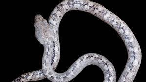 Madagascar Blind Snake Ghost Snake U0027 Species Found In Madagascar Jungle Stuff Co Nz