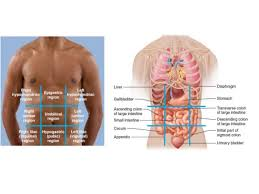 Anatomy Of Stomach And Intestines Topographic Anatomy Abdomen
