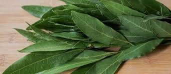 laurier cuisine le laurier sauce tout sur le laurier sauce laurus nobilis